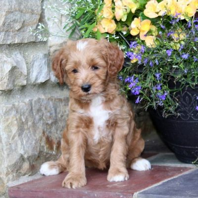 Reba - F1b Mini Goldendoodle female pupper for sale at Quarryville, Pennsylvania