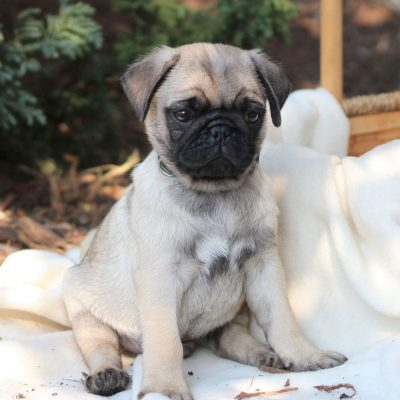 Rocky - ACA Pug