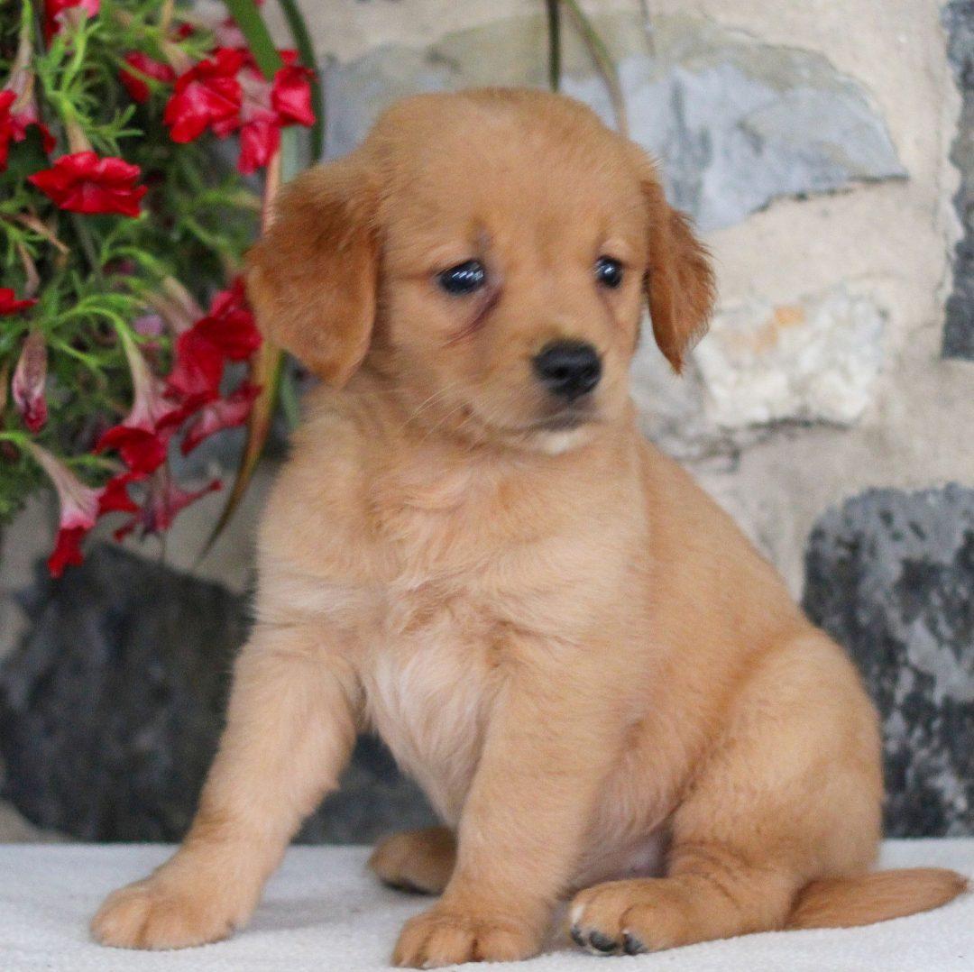 Roxy - AKC Golden Retriever female puppy for sale in Myerstown, Pennsylvania