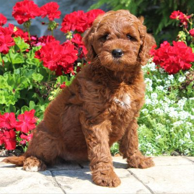 Ruby - F1b Mini Goldendoodle