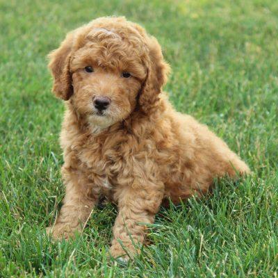Sadie - F1b Mini Goldendoodle pup for sale at Gordonville, Pennsylvania