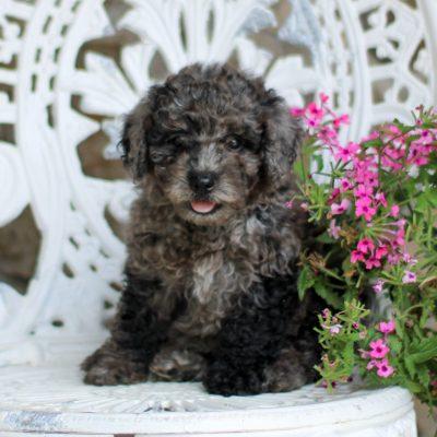 Scout - AKC Mini Poodle