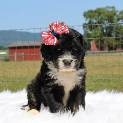 Shade- Bernedoodle, Well socialized with kids, Going home package !!