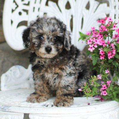 Shadow - AKC Mini Poodle