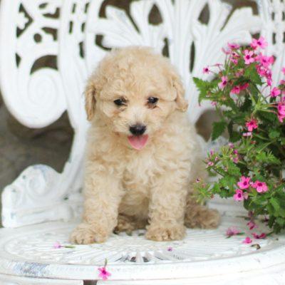 Shelby - AKC Mini Poodle