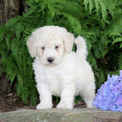 Shep - F1b Mini Goldendoodle puppy for sale near Quarryville, Pennsylvania