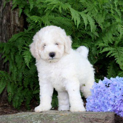 Shiloh - F1b Mini Goldendoodle pup for sale at Quarryville, Pennsylvania