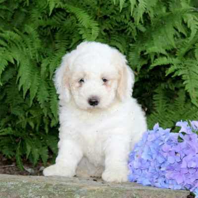 Skippy - F1b Mini Goldendoodle puppie for sale in Quarryville, Pennsylvania