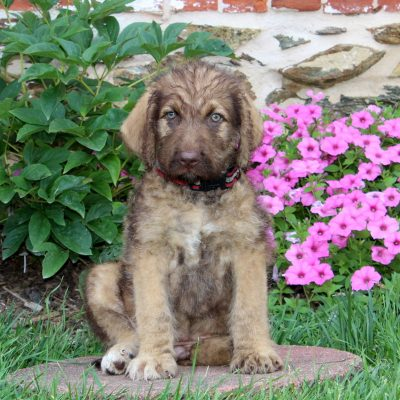 Snickers - Chesapoo : Chesapeake Bay Retriever/Standard Poodle Mix