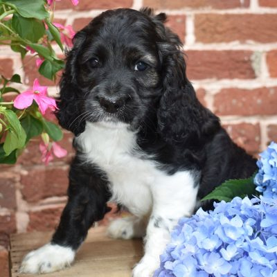 Snickers - Cockapoo puppie for sale at Lewisburg, Pennsylvania