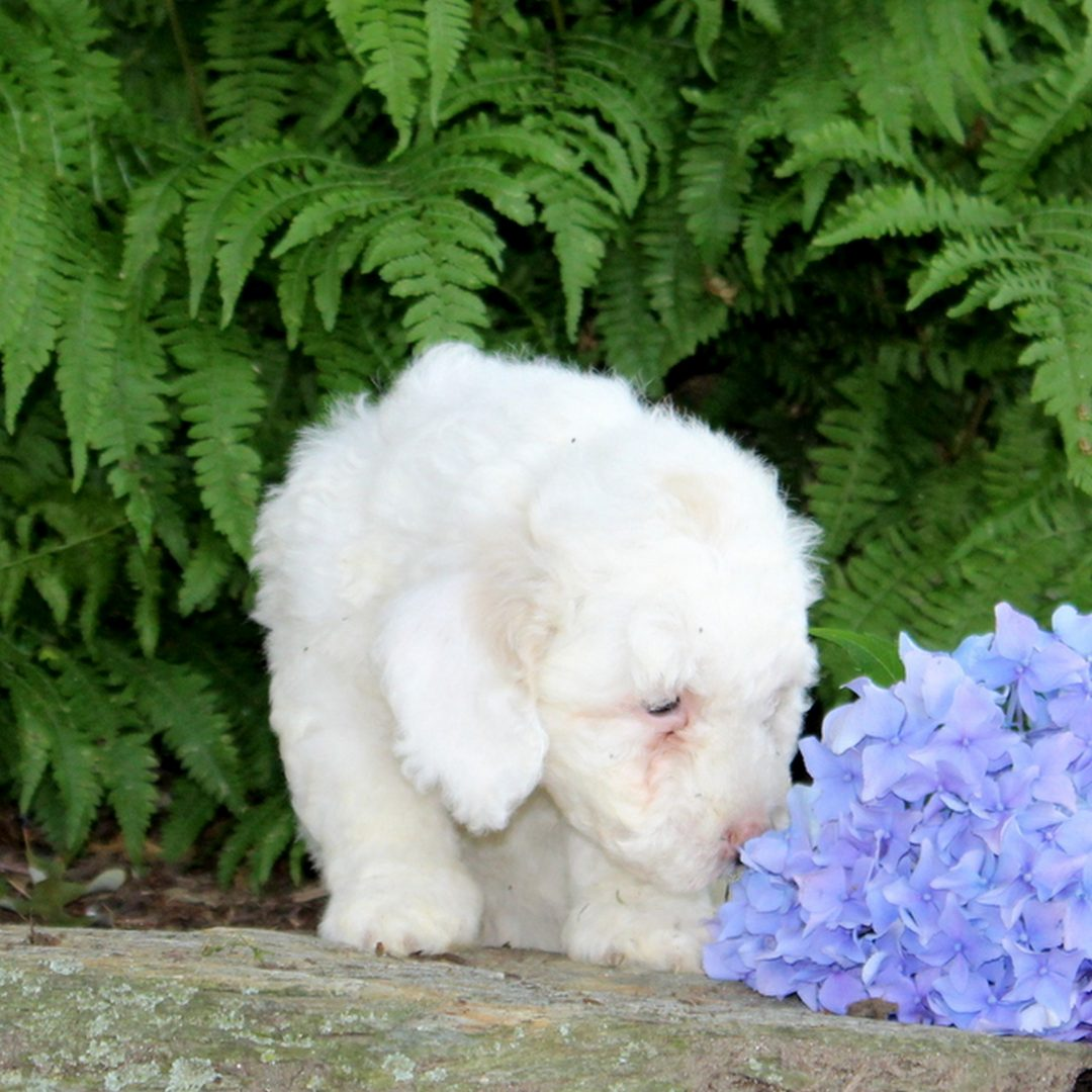 Sparky - doggie F1b Mini Goldendoodle for sale at Quarryville, Pennsylvania