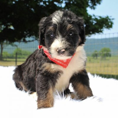 Sprinkler - Bernedoodle, Well socialized with kids, Going home package !!