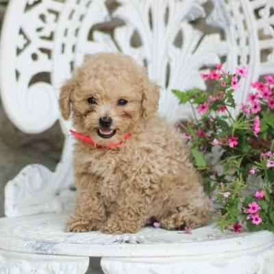 Stella - AKC Mini Poodle
