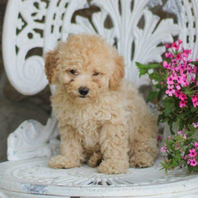 Stewart - AKC Mini Poodle