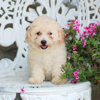 Sugar - AKC Mini Poodle