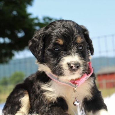 Summer - Bernedoodle, Well socialized with kids, Going home package !!