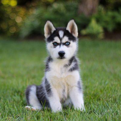 Tammy - F1b Pomsky female pup for sale at Coatesville, Pennsylvania