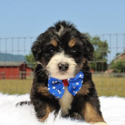 Tanner - Bernedoodle, Well socialized with kids, Going home package !!