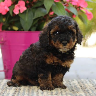 Teddy - pup AKC Mini Poodle male for sale in Gap, Pennsylvania