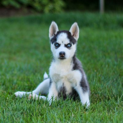 Tonya - F1b Pomsky female puppie for sale in Coatesville, Pennsylvania