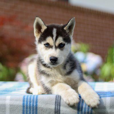 Travis - F1b Pomsky male pup for sale in Coatesville, Pennsylvania
