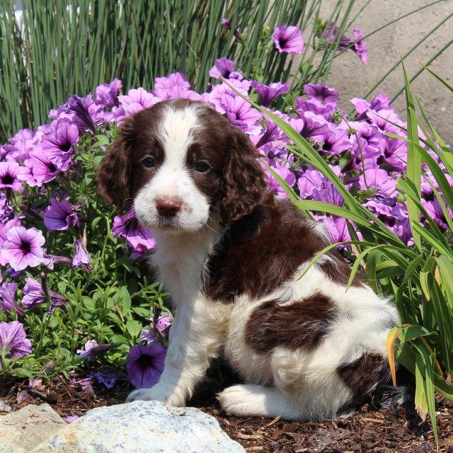 Tucker - English Springer Spaniel pup for sale in New Providence, Pennsylvania