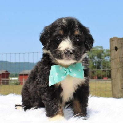 Walker - Bernedoodle, Well socialized with kids, Going home package !!