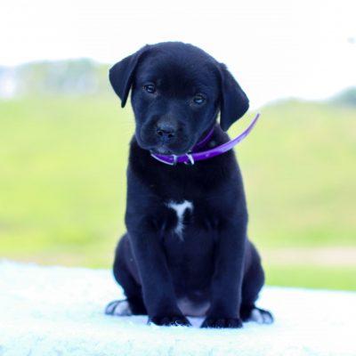 Wynter - Labrador Retriever/Saint Bernard Mix
