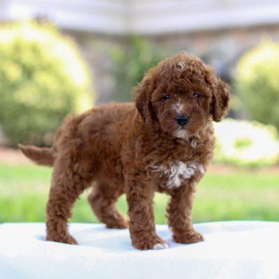 Zander - F1bb Mini Labradoodle puppy for sale near Bird-in-Hand, Pennsylvania