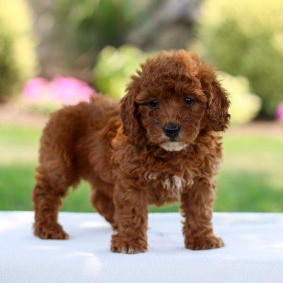 Zoe - F1bb Mini Labradoodle doggie for sale at Bird-in-Hand, Pennsylvania