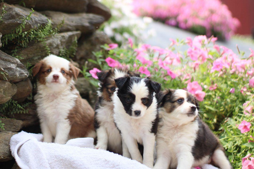 Skyla - ACA Mini Australian Shepherd puppy for sale in Strasburg, Pennsylvania