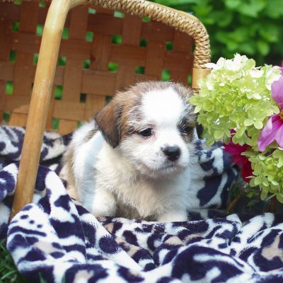 Carrie - pupper Shih-tzu/Jack Russell Mix male for sale near East Earl, Pennsylvania