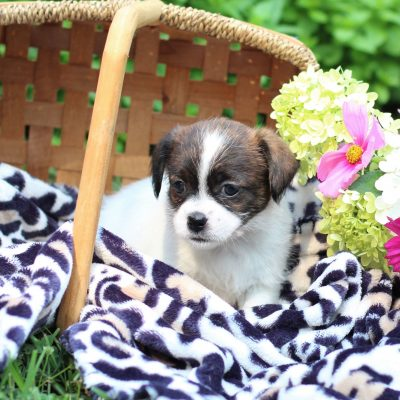 Chloe - Shih-tzu/Jack Russell Mix female pup for sale at East Earl, Pennsylvania