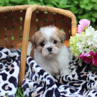Jackie - Shih-tzu/Jack Russell Mix male puppie for sale in East Earl, Pennsylvania