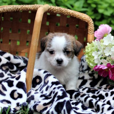 Kassy - Shih-tzu/Jack Russell Mix doggie for sale at East Earl, Pennsylvania