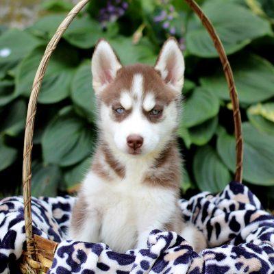 Kathy - Siberian Husky