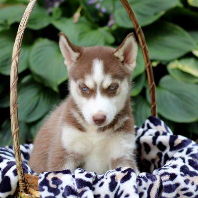 Keana - Siberian Husky
