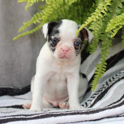 Cookie - Boston Terrier