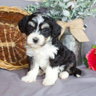 Rita - F2b Mini Bernedoodle puppie for sale in Sunbury, Pennsylvania