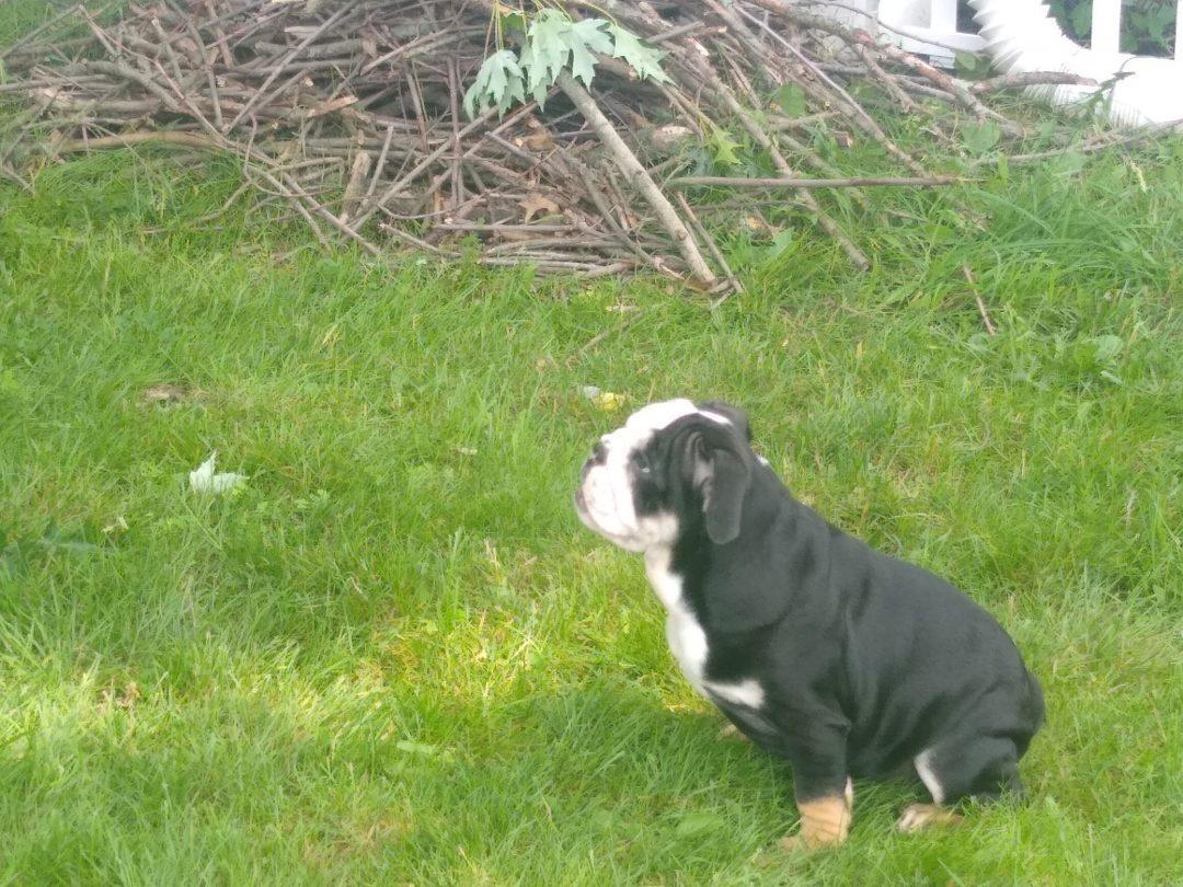 Baby - AKC English bulldog female pupper for sale near Akron, OH