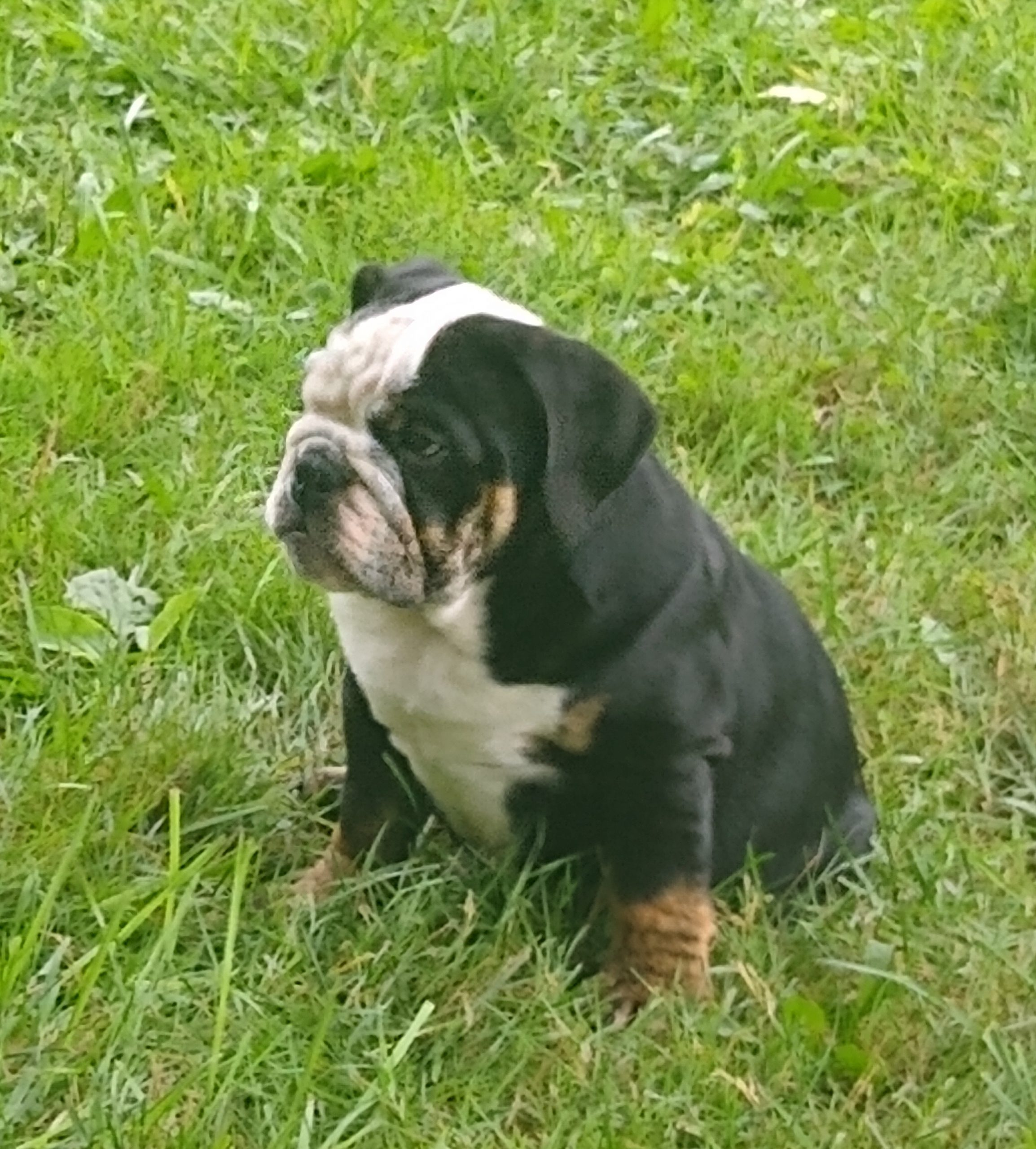 Bear - AKC English bulldog male puppy for sale at Akron, Ohio