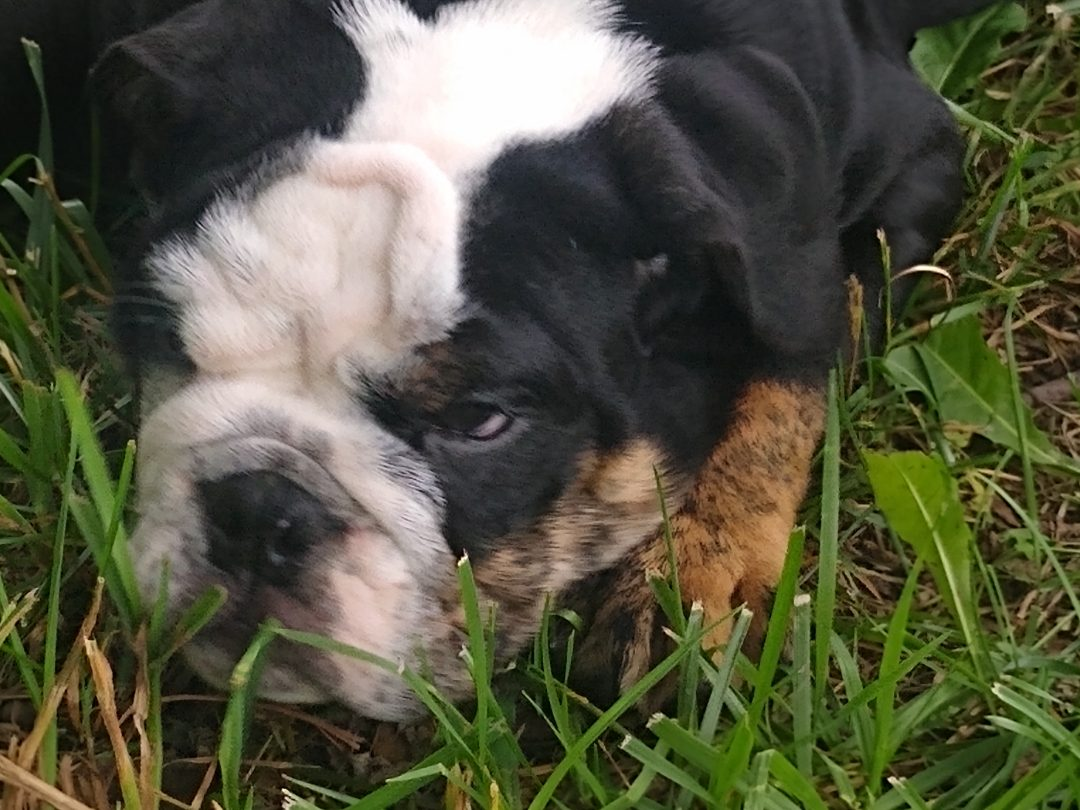 Bear - AKC English bulldog male puppy for sale in Akron, OH