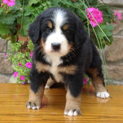 Brittney - AKC Bernese Mountain female puppy for sale in Grabill, Indiana