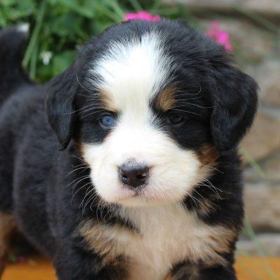 Bertha - AKC Bernese Mountain female puppie for sale in Grabill, Indiana