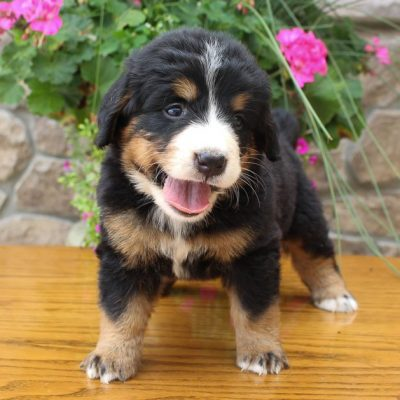 Betzy - AKC Bernese Mountain female doggie for sale at Grabill, Indiana