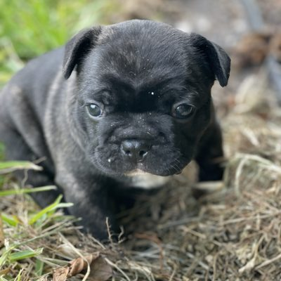 Rocky - Brindle French Bulldog Male located in Fort Lauderdale Florida