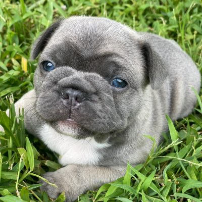Steel- Blue French Bulldog Male located in Fort Lauderdale Florida