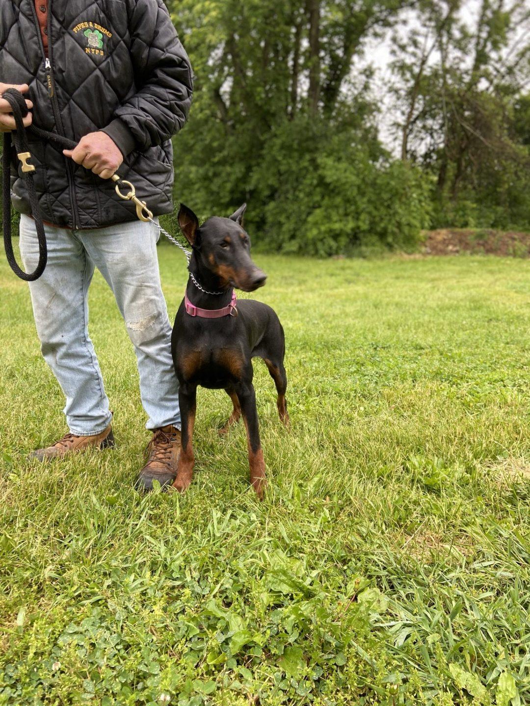 Albie - AKC Doberman Pinscher female pup for sale near New Hampton,  New York State