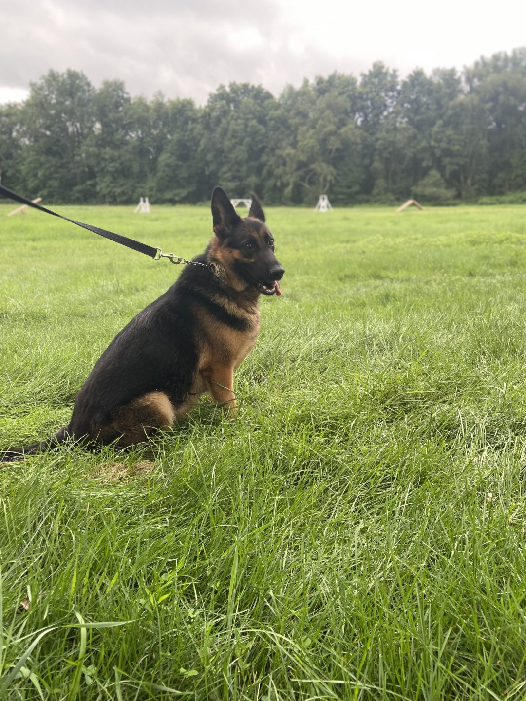 Secoura - AKC German Shepherd femape pup for sale near New Hampton, New York State