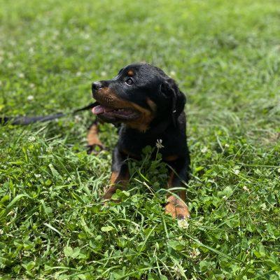 AKC Rottweiler female doggie for sale near New Hampton, New York State